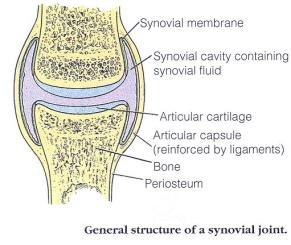 Structure of knee sinovial joint